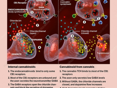 Endocannabinoid system versus cannabis. Illustrations comparing the cannabinoid neural receptor mechanisms for the natural (internal) endocannabinoid system (ECS, left) and the response to external sources of cannabinoids (right), such as THC (tetrahydrocannabinol) in cannabis. In each illustration, an axon (top) forms a synapse with a dendrite (bottom). Endocannabinoids (green) or THC (dark blue) bind to CB1 receptors. At left (ECS), most of the CB1 receptors are unbound and the GABA neurotransmitter (red) opens chloride channels for chloride ions (light blue) that block the secretion of dopamine (yellow triangles). At right (THC), more of the CB1 receptors are occupied, less GABA is produced, the chloride channels are closed, and dopamine levels increase. This generates an increased sense of well-being.